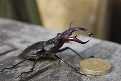 Gold thief... (@JBOccyTherapy) Tags: red black male andy bug garden insect coin stag dad beetle jo greater southall pound