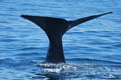 Kaikoura - Whale watching (OurPhotoWork) Tags: newzealand holiday explore nz southisland whales kaikoura whalewatching spermwhale cetacea visitnz nz2011 ourphotowork