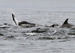 Hunting Dolphins - Chanonry point (Ally.Kemp) Tags: wild point scotland fishing marine dolphin wildlife hunting salmon scottish dolphins mammals moray rosemarkie blackisle firth chanonry bottlenose fortrose rossshire