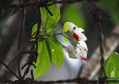 Bleeding Heart -1 (HamimCHOWDHURY  [Active 01 Feb 2016 ]) Tags: life pink blue red portrait white black green nature yellow canon eos colorful purple faces sony gray magenta violet surreal ash dhaka dslr vaio rgb bangladesh eos7d framebangladesh incrediblebengal gettyimagesbangladeshq2012 01611595036