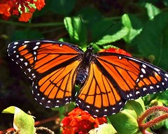 """VICEROY"" (jamesfburns) Tags: macro butterfly butterflies monarch viceroy flyingflowers butterflycloseups butterfliesoftheworld me2youphotographylevel1 butterfliesoftheusa thedifferecebetweenmonarchandviceroybutterflies macroshotsofbutterflies"