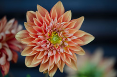 The well being of a dahlia (Pensive glance) Tags: dahlia plant flower nature fleur plante
