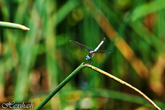 Blue Dasher (hexihash) Tags: park family blue green nature water grass yellow bug photography fly pond nikon dragon tn dragonflies dragonfly d tennessee wing center front bugs flies 5000 dasher libellulidae ijams yellowish skimmers pachydiplax longipennis d5000 hexihash