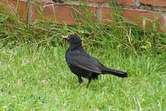 zz 'Blackbird' ~ 2012-07-18 @ CVT (2) (CVT-wings) Tags: wildlife blackbird cvtwings davelenton 18072012