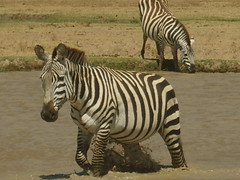 Zebra getting out of the water (Real Africa) Tags: africa wild tanzania kenya running safari zebra herd grazing safarianimal