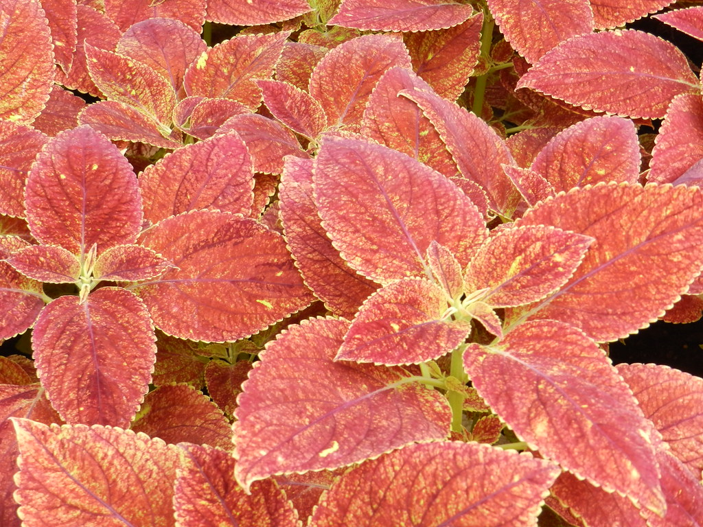 the world u0027s best photos of coleus and gardens flickr hive mind