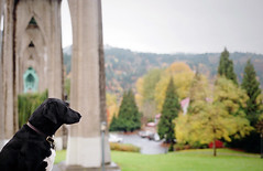 wishful thinking (manyfires) Tags: autumn portrait dog fall film animal oregon analog portland bokeh canine nikonf100 daisy pacificnorthwest pdx stjohnsbridge cathedralpark animalscape labradorpointer