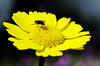 Fly (Damien Cox) Tags: uk plant flower nature yellow insect fly nikon natural damiencox dcoxphotographycom