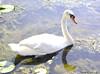 Male Mute Swan (Annette LeDuff) Tags: lake bird nature water swan cygnet top20nature muteswan kensingtonmetropark wildwinglake milfordmi photoannetteleduff annetteleduff 07262012 flickrunofficial swansgroup