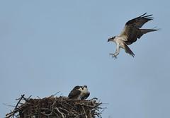 landing gear down (morris 811) Tags: bird flying nikon nest 300mm f4 birdofprey ospreys talons narragansett