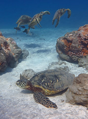 three and one (bluewavechris) Tags: ocean life sea nature water animal coral swim canon hawaii sand marine underwater snorkel turtle reptile wildlife dive shell maui reef creature flipper freedive highqualityanimals