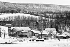 Farm - Centre Hall, PA (younkenphoto) Tags: farm centre hall pa livestock cows winter snowcovered