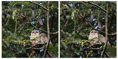Cozy Owlets (Ramesh Adkoli) Tags: birds lalbagh d500 capturenx