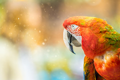Ara chloroptera (Paolo Laino) Tags: ara chloroptera 70200 canon birds macaw 7dm2 200mm f28 animals bokeh dof outdoor depthoffield redandgreenmacaw nature gorgeus colorful feathers vibrant beak