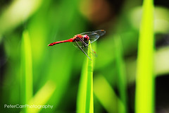 Dragonfly - red-dragonfly02-IMG_9852 (pete1074) Tags: fairburnings fairburn nature naturereserves rspb rspbfairburnings wildlife insects butterfly dragonfly macro peterjcarr petercarrphotography flickrpete1074 petecarr yorkshire westyorkshire