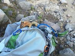 Food thief (Just Peachy!) Tags: oregon willamettenationalforest mtjeffersonwilderness jeffersonpark goldenmantledgroundsquirrel