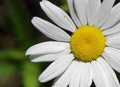Ox Eye (jameskirchner15) Tags: flower daisy oxeyedaisy nonnative bokeh closeup macro michigan wildflower patterns texture pentax hbw