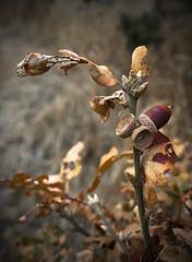 Cedar Hill, Victoria BC (michael_riches) Tags: leaf leaves chestnut autumn fall colour color victoriabc canon750d