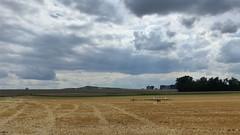 Getreidefeld zwischen Bechtolsheim nach Friesenheim