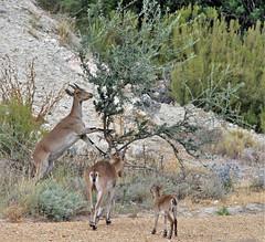 Familia de ciervos (vic_206) Tags: ciervos olivo animales canoneos7d canon300f4liscanon14xii
