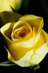 DSC_5597 (PeaTJay) Tags: nikond300s sigma reading lowerearley berkshire macro micro closeups gardens outdoors nature flora fauna plants flowers rose roses rosebuds
