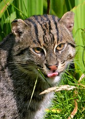 Fishing Cat - tongue out! (One more shot Rog) Tags: cat cats bigcats fishingcats fishing catwhfwildlife heritage foundationbig sactuarysmardenwhiskerswildnatureroger sargent wildlife photography