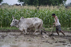 Farmer Pradesu Tharu puddles a plot with his oxen for planting rice seedlings in Neulapur, Bardiya. (CIMMYT) Tags: nepal csisa cimmyt maize agriculture smallholder farmer mechanization asia