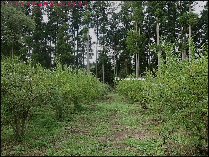 木更津藍莓園 (5).JPG