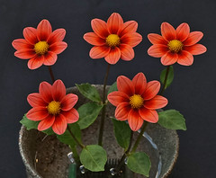 Five of a Kind (charlottes flowers) Tags: dahlia dahliashow dahlialoredeye