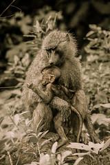 _DSF6707-2.jpg (sylvainbenoist) Tags: africa afrique animaux babouin continentsetpays mammifères manyara nb nature primates singe tz tza tanzania tanzanie