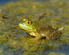 DSC_5918=1Bullfrog (laurie.mccarty) Tags: bullfrog frog nature nikond810 nikon wildlife amphibian lauriemccartyphotos