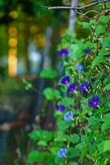 _MG_6349 copy (Bill Gagne Photography) Tags: morning morningglory green blue purple flowers backlight bokeh august summer canon colors color canonef135mmf2lusm canoneos5dmkll 135mm 135l ef135mm eos hartfordcountyconnecticut thelook billsphotos billgagnephotography