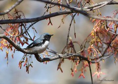 Black-throated Blue Warbler (sbuckinghamnj) Tags: warbler blackthroatedbluewarbler songbird garretmountain garretmountainreservation newjersey