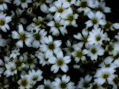 White Petals (Steve Taylor (Photography)) Tags: flower yellow white macro closeup contrast newzealand nz southisland canterbury christchurch northnewbrighton plant petals
