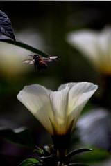 DSC_4589 (rajashekarhk) Tags: theosophicalsociety photowalk psm honeybee flower ins insects macrophotograph nature rajashekar hkr nikon naturephotography chennai colours tamilnadu