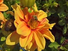 WP_20160901_16_58_03_Rich (vale 83) Tags: bee microsoft lumia 550 thebestyellow colourartaward friends naturesfinest wpphoto wearejuxt