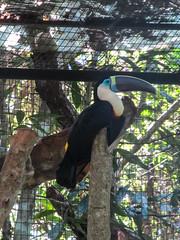 """Le Parc des Oiseaux d'Iguaçu: un autre magnifique toucan. Il ressemble au premier, la plus grande sorte de toucan, mais en d'autres couleurs ;) <a style=""""margin-left:10px; font-size:0.8em;"""" href=""""http://www.flickr.com/photos/127723101@N04/29351762990/"""" target=""""_blank"""">@flickr</a>"""