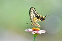 Papilio machaon (myu-myu) Tags: nature insect butterfly swallowtail papiliomachaon flower zinnia nikon d500      japan