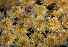 DSC_0161 fall flowers (snolic...linda) Tags: arkansas 501 fall flowers mums