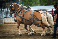 Hooves of Power (mightymuffinful) Tags: armstrongfair caballo caballodetiro canada cheval chevaldetrait country drafthorse equine hest horses ipe livestock power