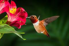 Seeing Red (Patricia Ware) Tags: allenshummingbird alstroemeria backyard birdsinflight california canon ef500mmf4lisusm fullframe manhattanbeach multipleflash selasphorussasin tripod httppwarezenfoliocom 2016patriciawareallrightsreserved specanimal