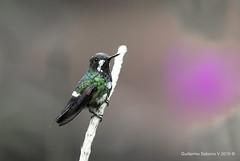 Discosura conversii (Gmo_CR) Tags: discosuraconversii greenthorntail colibrcolicerdaverde parquenacional brauliocarrillo nationalpark costarica colibr hummingbird female hembra