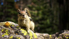 mid day snack (PhotographyBum) Tags: rocky mountain national park colorado outdoor hike hiking trails snack wildlife wide bokeh nature animals canon 24mm squirrel rmnp nps