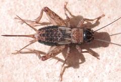 Nemobius sylvestris f - 11 IX 2016 (el.gritche) Tags: orthoptera france 40 garden gryllidae nemobius sylvestris nemobiussylvestris female