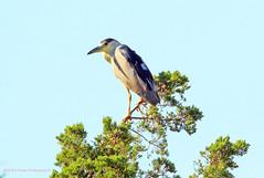 Night Heron (rumerbob) Tags: nightheron heron bird birdwatching birdwatcher oceancitynj nature wildlife wildlifephotographer waterbird canon7dmarkii canon100400mmlens