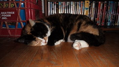 Autumn (universalcatfanatic) Tags: cats autumn tortoiseshell tortie calico orange black white cat lay laying sleep sleeping curled up hard wood hardwood wooden floor red milk crate dvds dvd case bookcase blue yellow movies movie