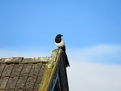 Magpie on rooftop (Tanumine Photos) Tags: magpie bird akershus picapica norway rholt 2016