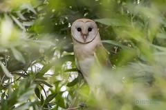 Barn owl (Asaru Kariyil Photography) Tags: owl barnowl qatar qatarbirds bird qatarwidelif photography birdphotography