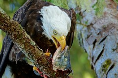 Mouth to Mouth (rs) (Blingsister) Tags: americanbaldeagle baldeagle baldeagleeatingafishcloseup mouthtomouth baldeaglecloseup eagle eaglewithafish raptorinthewild wildraptor blingsister melanieleesonwildlifephotography canonef100400mmf4556lisiiusm14xiii northernvancouverisland