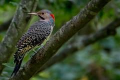 my friend flicker - woodpecker (robertskirk1) Tags: green nature animal wildlife bird woodpecker yellowshafted northern flicker kentgardens park mclean virginia va